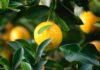 zdrowotne właściwości cytryny